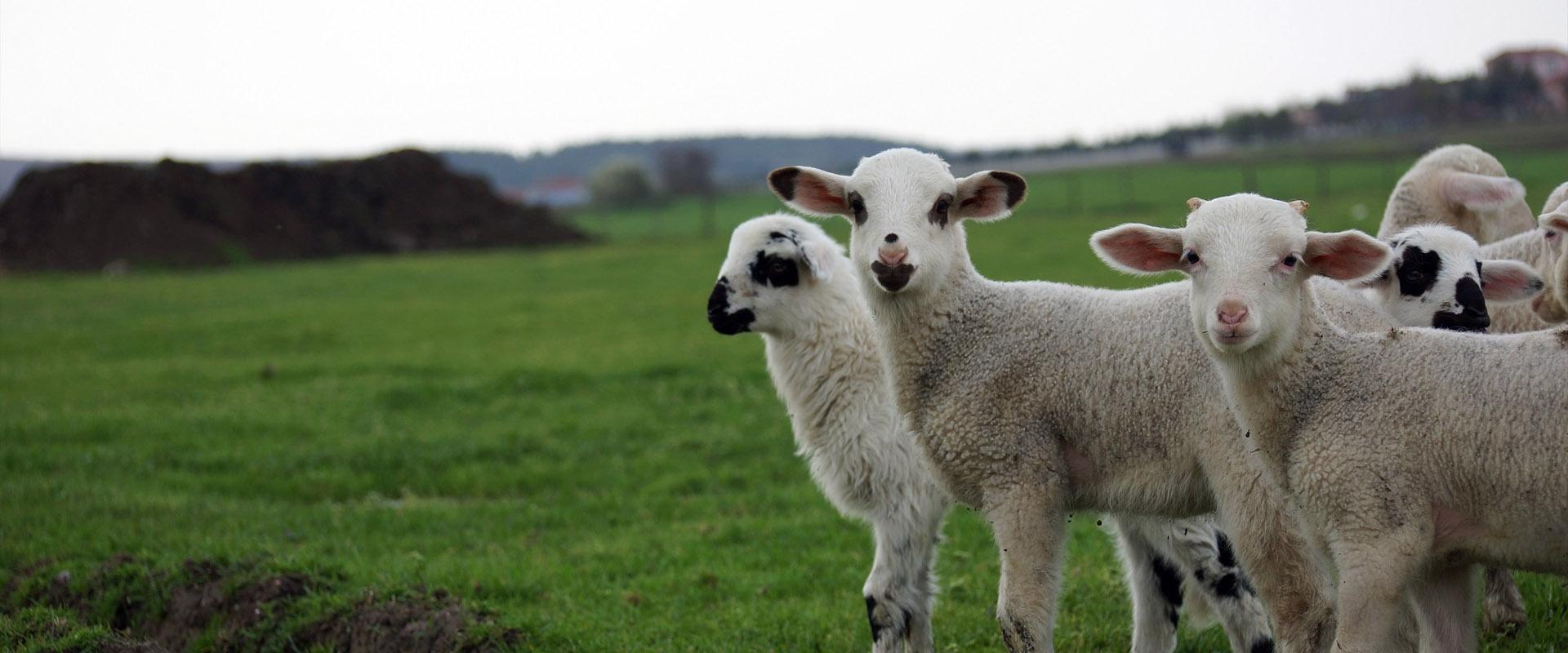 apex-hayvancılık-küçükbaş-hayvan-çiftliği-slider-1